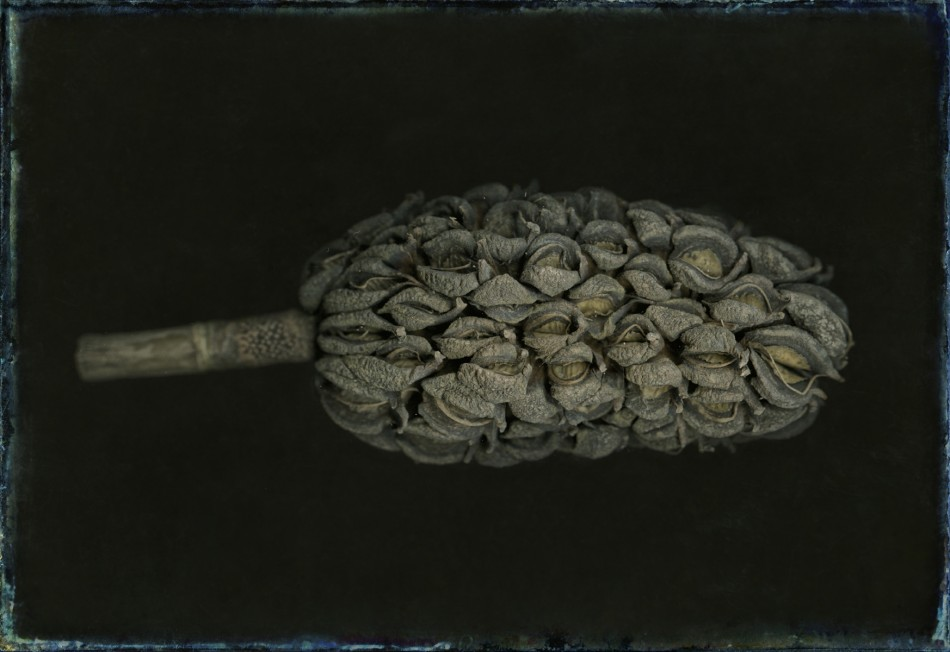 Unknown tree seed pod