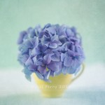hydrangea-after